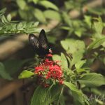 【Davao Butterfly House】 バタフライハウスで美しい蝶に酔いしれよう!