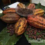 【News】カカオの需要が熱いダバオ、農業従事者の需要も増加傾向に