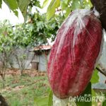 【News】カカオ農家、きたる自然現象に向けて政府の援助を求める