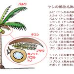 【コラム】単語の数が圧倒的!田舎の最重要植物「ヤシ」